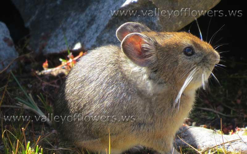 Tailless rat at Hemkund Sahib