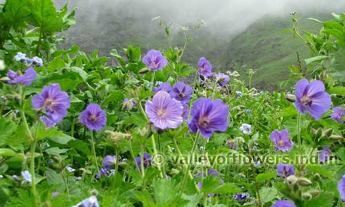 Is it the Best time to visit Valley of Flowers : Geraniums in the Valley of Flowers