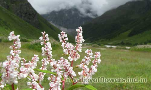 Himalayan Knotweed in Valley of Flowers, as seen in the month of August.