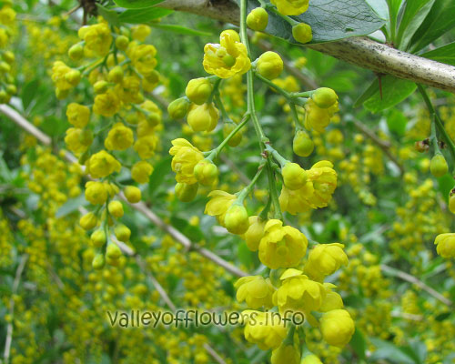 Berberis Aristata, it has anti cancer property