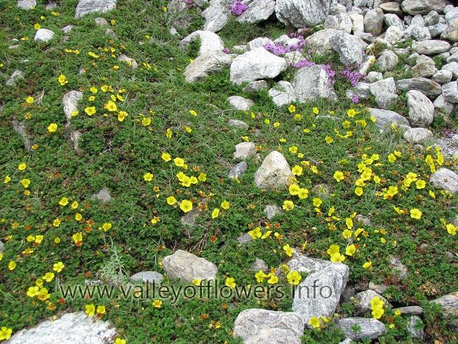 Flowers on the way to Vasudhara Falls