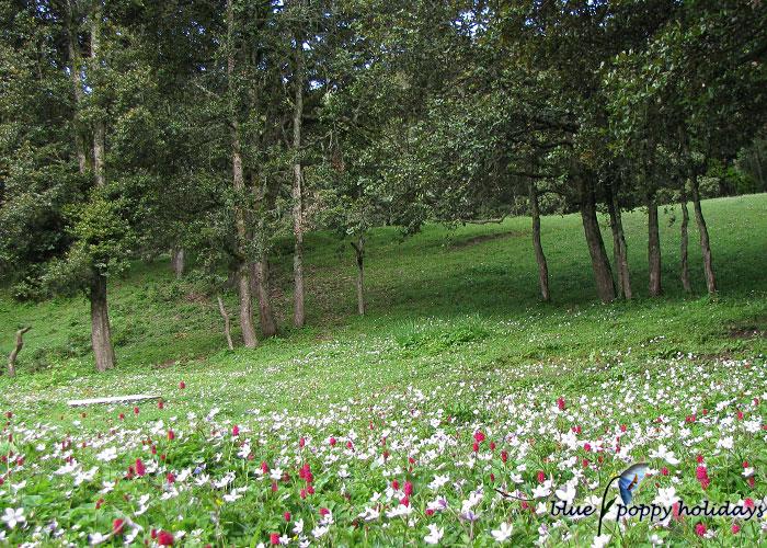 Anemone flowers near the Gorson peak camp site