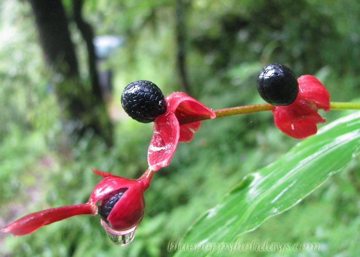 Berries on the way to Chopta