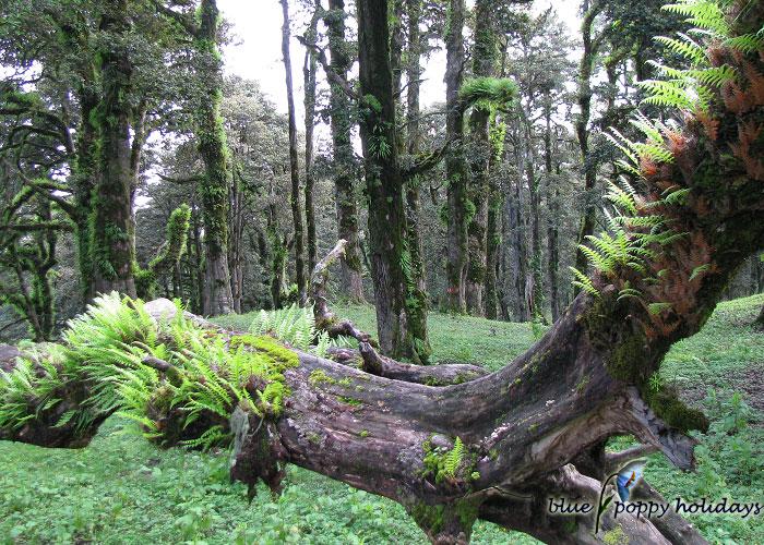Dense forest near Gorson Peak