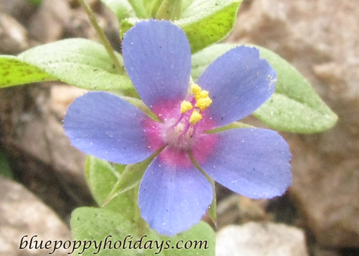 Flowers on the way to Chopta (12)