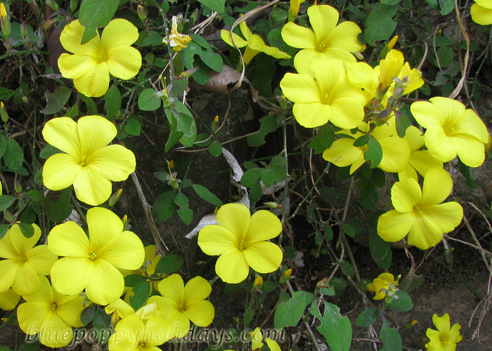 Flowers on the way to Chopta (14)