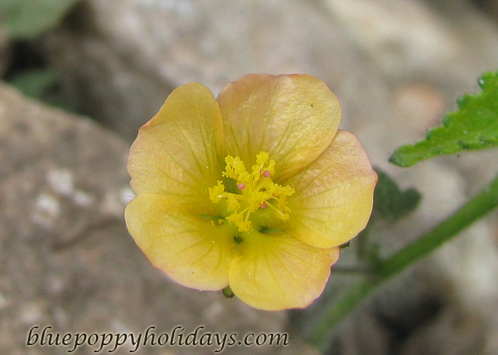 Flowers on the way to Chopta (20)