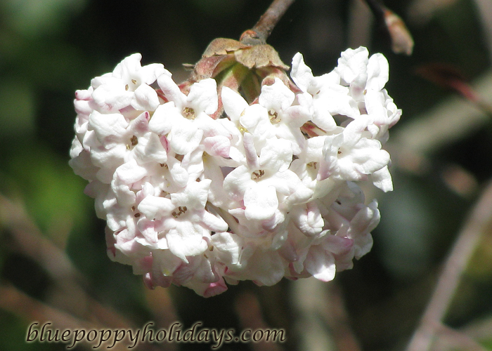 Flowers on the way to Chopta (21)