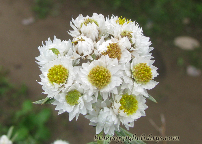 Flowers on the way to Chopta (22)