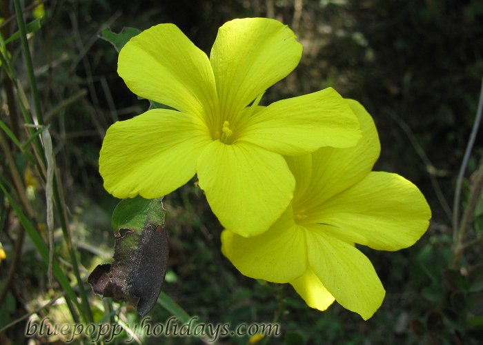Flowers on the way to Chopta (23)