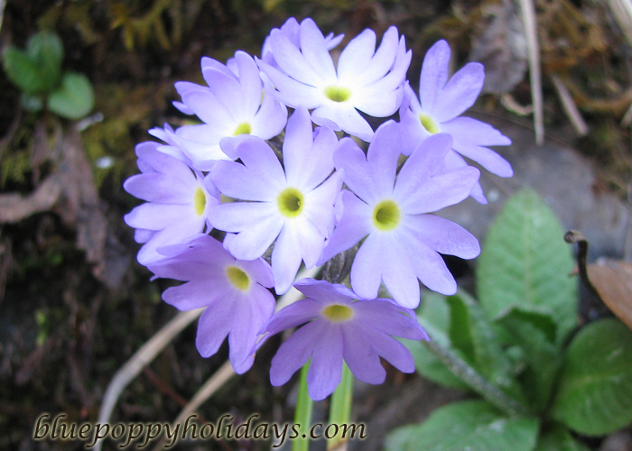Flowers on the way to Chopta (2)