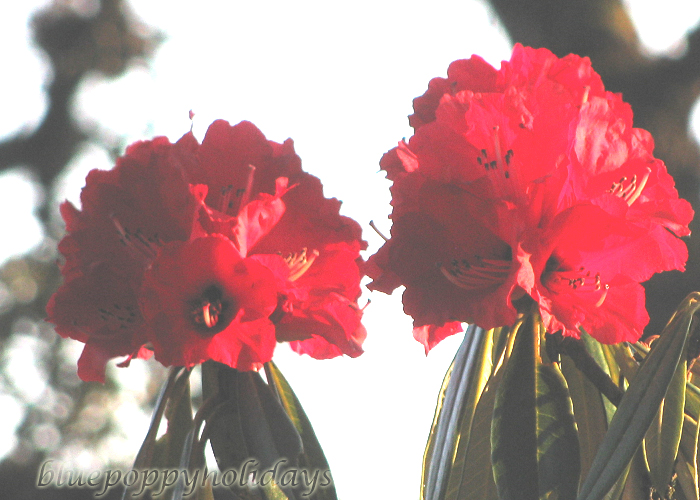 Flowers on the way to Chopta (4)
