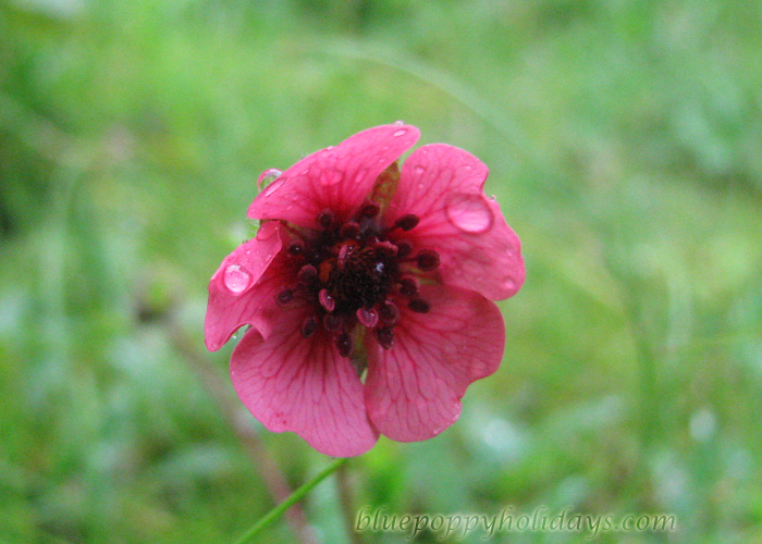 Flowers on the way to Chopta (7)