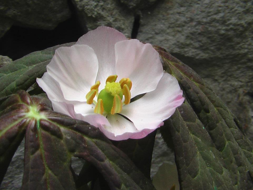 Podophyllum