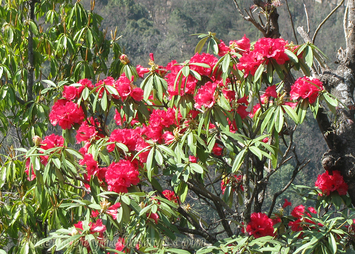 Rhododendron Plant on the way to Chopta
