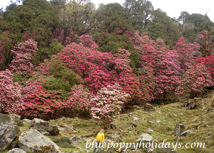 Rhododendron in Chopta (2)