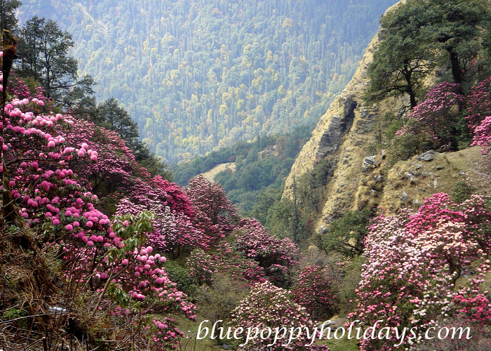 Rhododendron in Chopta (3)
