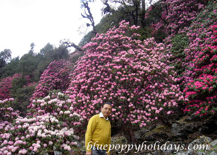 Rhododendron in Chopta (4)