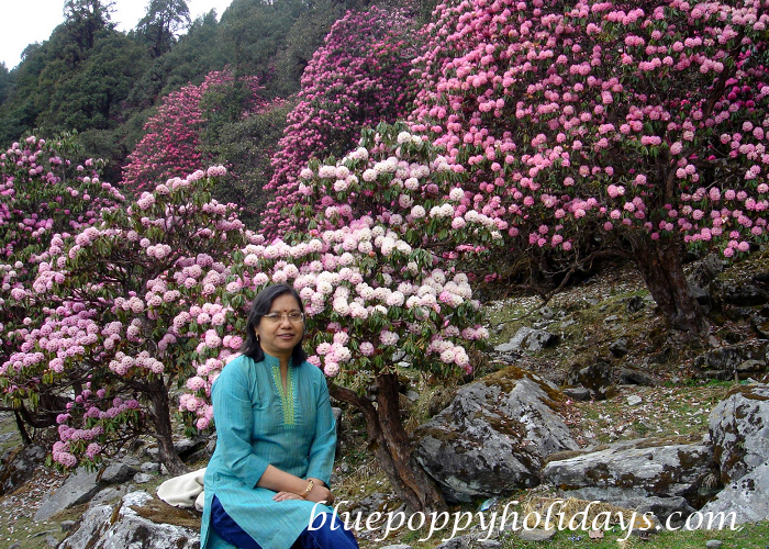 Rhododendron in Chopta (5)