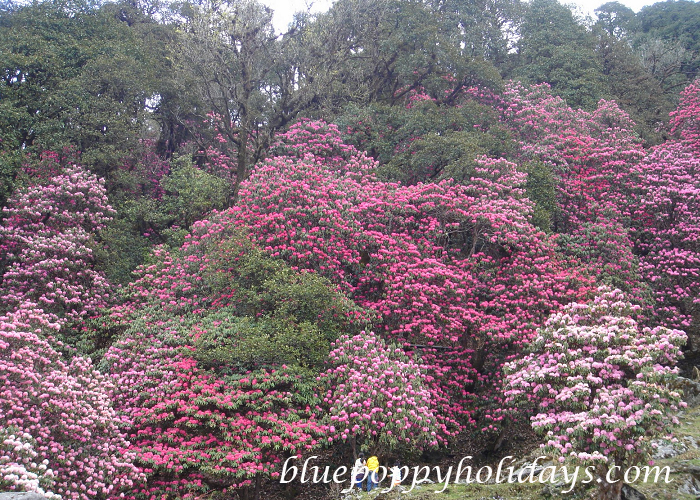 Rhododendron in Chopta (6)