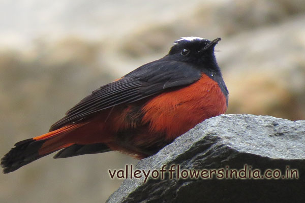 This bird is mainly found near water streams.