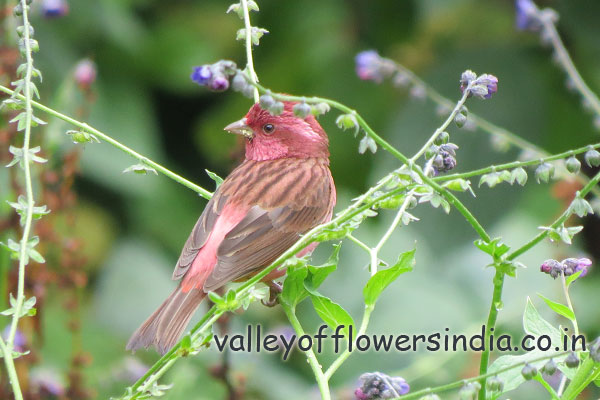 Pink Borrowed Rosefinch (Male) Found in Abundance in Ghangaria and Hemkund Sahib