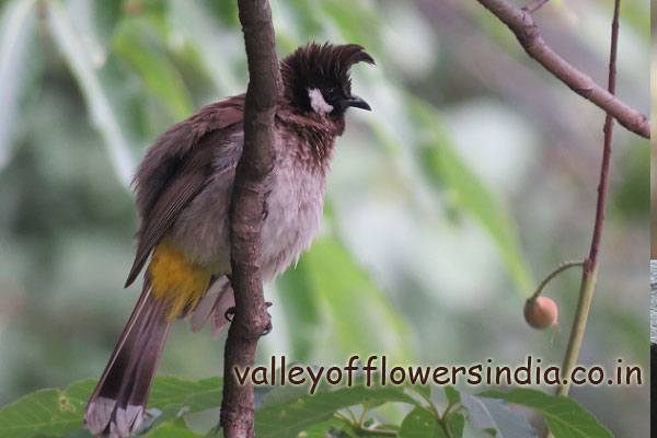 Common Name:himalayan bulbul, Taarke Jureli Scientific Name: Pycnonotus leucogenys Weight: 30 grams Color: black and white mixture on their body and brown tail with yellow part underneath it Length: 18 cms