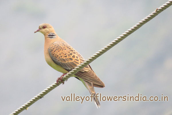 Himalayan Dove
