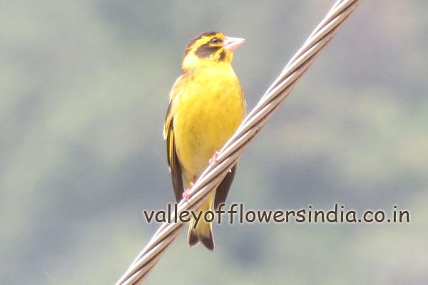 A yellow Bird near Govindghat
