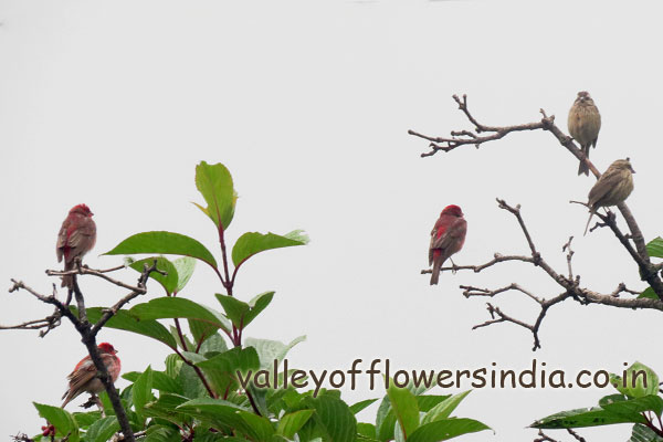 Pink Borrowed Rosefinch (Pink one is Male and other one is female) Found in Abundance in Ghangaria and Hemkund Sahib