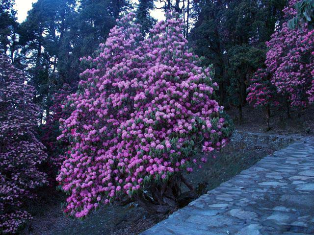 Rhododendron on Chandershilla Peak Trek from Chopta