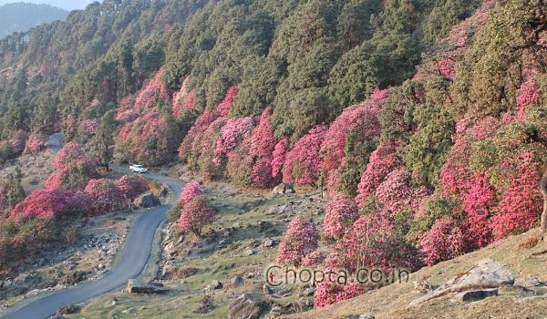 Rhododendron forest  in Chopta, this view is common in March April