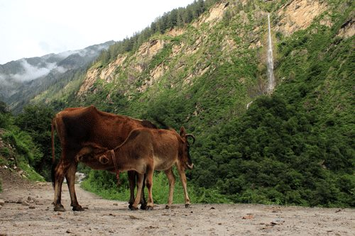 A cow and calf near the waterfall