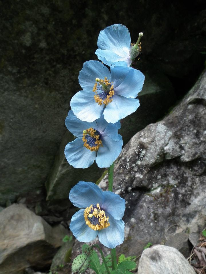 Blue Poppy Flowers near Hemkund Sahib