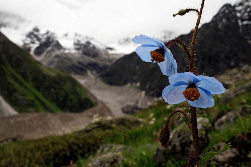 Blue Poppy, the queen of Himalyan Flowers