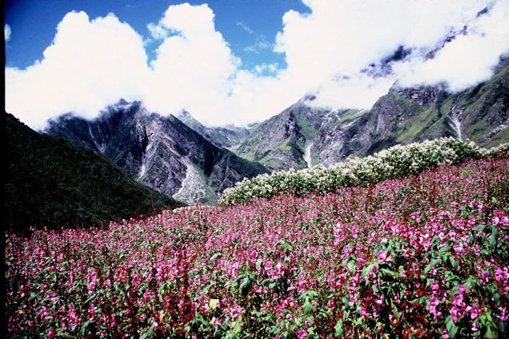 Pink flowers bed in the Valley of Flowers