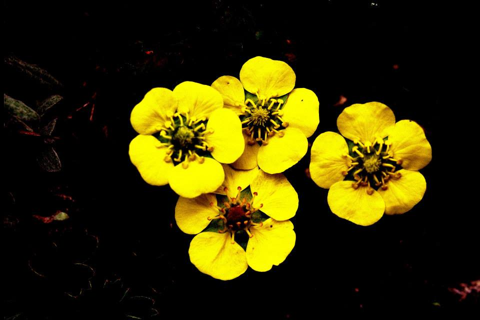 Potentilla Cuneata in Valley of Flowers