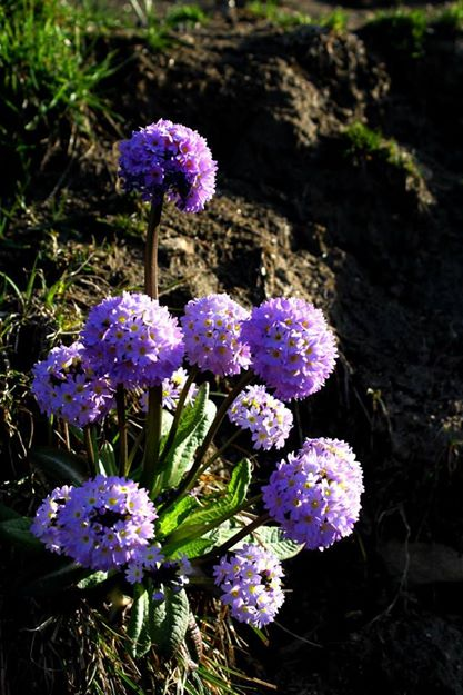 Primula Denticuleta in Valley of Flowers