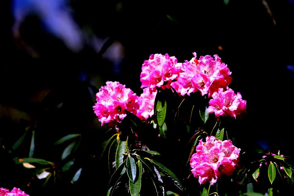 Rhododendron beauty of hills
