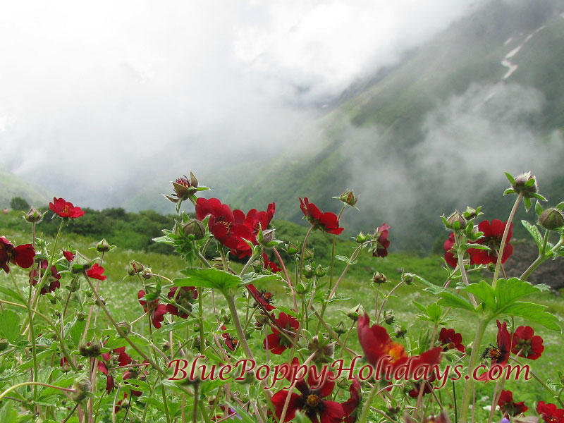 Vajardanti in Valley of Flowers, It is a common flower