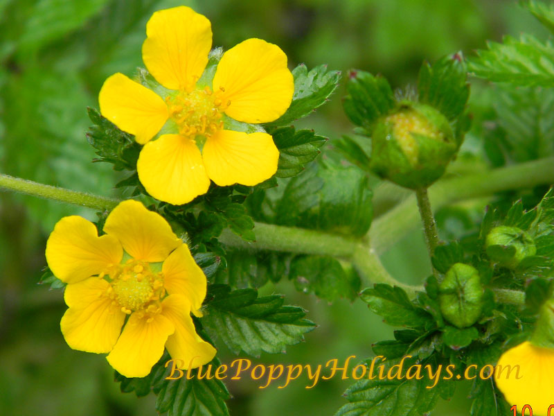 Yellow Potentilla in the Valley of Flowers