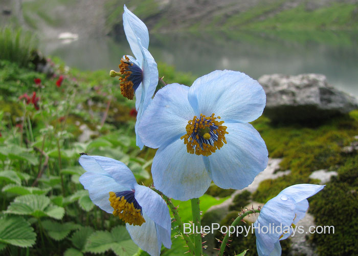 Blue Poppy Flower at Hemkund Sahib in July end